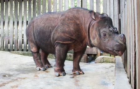 Sumatra Gergedanı