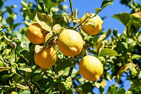 Limonun Faydaları Nelerdir